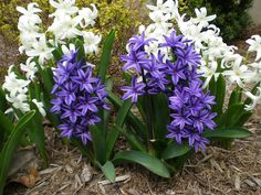 Plant hyacinth bulbs in fall, 6 to 8 weeks before a hard frost is expected and when soils are below 60 degrees F.  This is usually during September and October in the North,