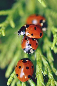 Just having a few Lady friends over Beautiful Bugs, Beautiful World, Beautiful Pictures, Flying Flowers, Lady Bugs, All Gods Creatures, Beautiful Creatures, Lady In Red, Butterflies