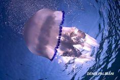 Immersioni all'Isola d'Elba con Elbadivers Dive Center Naregno. Scuba diver, immersions, Italy, Tuscany. Medusa, jelly fish