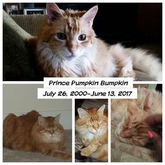 Orders will be delayed until the weekend!  The Prince Pumpkin Bumpkin got promoted to kitty heaven. He was my best friend in the whole world. I'm going to miss him ever so much.  He came out to the living room late afternoon to say goodbye then he went back to my room to go to sleep. I found him on the floor at the foot of my bed. He couldn't get up to the mattress.  He became my fur baby in Arizona where I adopted him from the shelter. He was in cage number 13 my lucky number. It was meant…