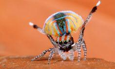 La danza de la araña pavo real (Maratus volans) - Naukas