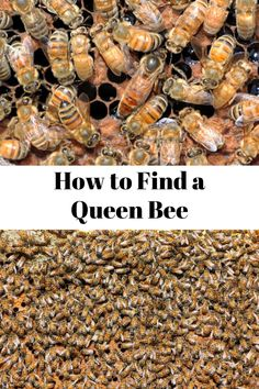 Finding the queen bee in a hive can be challenging. Discover what to look for to find your queen bee without using the crutch of marking it. Honey Bee Hives, Honey Bees, Chicken Tractors, Farm Chicken, Future Farms, Birds And The Bees, Worm Farm, Worm Composting, Funny Tattoos