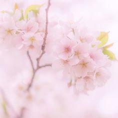桜の花言葉は精神の美 こんなに見栄えがする花なのに内面の美しさの方を花言葉としている桜さんさすがです . . . Please Follow@bestjapanpics_ Tag#bestjapanpics 日本で撮られたみなさんの素敵な写真にぜひタグ付けを . . .  #PHOS_JAPAN  #japan #写真好きな人と繋がりたい #写真撮ってる人と繋がりたい #ファインダー越しの私の世界 #カメラ好きな人と繋がりたい #japan_daytime_view桜2016 #ICU_JAPAN_BOKEH028 #sakura #桜 #cherryblossom #東京都 #tokyo #indies_gram #はなまっぷ桜 #はなまっぷ by bloom4123