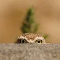 A Burrowing Owl playing peekaboo with me. Photo by @colinfranksphotography