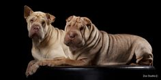 Shar Peis. I want their fatness!!