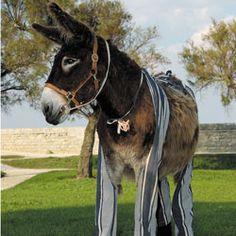 Donkey with trousers, Ile de Ré, Poitou-Charentes www.visit-poitou-charentes.com/en/La-Rochelle-Ile-de-Re/Ile-de-Re