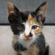 Adorable Little Calico Baby Kitten