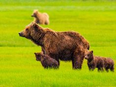 Off the Endangered List and Into the Line of Fire? Grizzly Bears Could Be Targets in 2014
