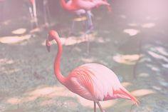 Pink Flamingo, via Flickr by warmhotchocolate