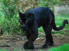 Panther Sanctuaries in Chhattisgarh, India @ Sanctuariesindia.com