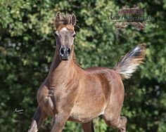 Nadirs Kameela - The RESERVE CHAMPION Futurity Finals SE Fillies – Yearlings, from the 2015 Egyptian Event, Lexington, Kentucky