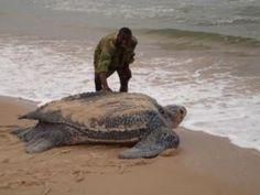 Lederschildkröte auf dem Weg zurück ins Meer (Foto: www.seaturtle.org)
