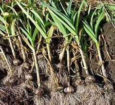 HOW TO GROW GARLIC IN POTS |The Garden of Eaden