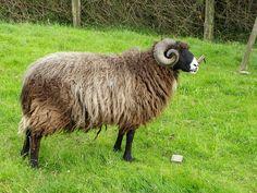 Carneru oveya xalda