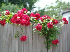 Fences and flowers always look good together!