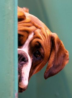 A Boxer dog looks out from its kennelhttp://www.telegraph.co.uk/lifestyle/pets/10680498/Crufts-2014-the-worlds-biggest-dog-show-in-pictures.html?frame=2844449