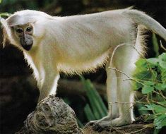 crested white mangabey