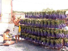 drying racks Lavender Wands, Lavender Bush, Lavender Crafts, Lavender Garden, French Lavender, Lavender Fields, Lavender Flowers, Dried Flowers, Lavender Ideas
