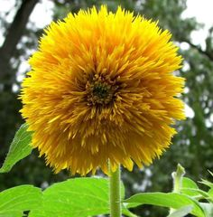 Sunflower- Sungold-Dwarf Teddy Bear Sunflowers ! 200 Seeds,Great in container !