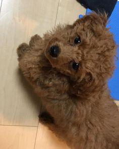 ご飯待ち😹❤️ #20171202 #トイプードル#トイプ#トイプードル部#女の子#生後3ヶ月#moco🐶💗#愛犬#わんこ#我が家の天使#犬バカ部#親バカ #kawaii#angel#Toypoodle#girl#pet#family#dog#cute#dogstagram#mydogismybestfriend#mydogiscutest#love#dogmodel#todayswanko#puppydog#puppy