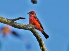príncipe (Pyrocephalus rubinus) por Paulo Dellalio | Wiki Aves - A Enciclopédia das Aves do Brasil