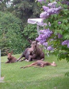 Mooseworld: Sightings in Alaska