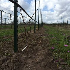 Planting our root stock- 2016