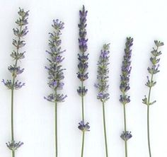 LAVENDER: I chose the wrong ones for my front garden.  I should have read this first.