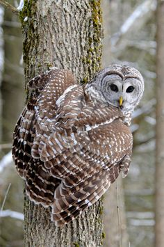 Amazing image of a Barred Owl (Strix varia) on the side of a tree in Ontario, Canada. Photo by Steve Courson.