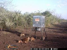 The Stand & Still Feeders of All Seasons Feeders, maintains the quality and durability of the traditional broadcast, while offering you a much safer way to fill your feeder, from the ground, without ladders! Deer Feeders, This Little Piggy, Ranch, Hunting, Outdoors, Seasons, Fish, Photos, Guest Ranch