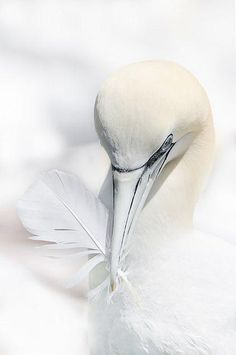 Pure White - Northern Gannet by Ursi and Michel Buchs All White, Pure White, White Swan, White Pic, White Stuff, White Light, Beautiful Birds, Animals Beautiful, Art Texture