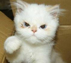 おこ?ねえ、おこなの?しかめっ面した猫の写真+GIFアニメ : カラパイア