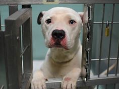 GONE 12/19/14 Brooklyn Center   My name is SNOOPY. My Animal ID # is A1023260. I am a male white and black american staff mix. The shelter thinks I am about 6 YEARS old.  I came in the shelter as a OWNER SUR on 12/15/2014 from NY 11368, owner surrender reason stated was MOVE2PRIVA.  https://www.facebook.com/photo.php?fbid=924200920926121