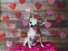 Teacup chihuahua valentines day photo by Mia DeMeo photography