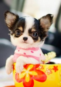 Chihuahua - young ones often are quite fluffy :) and cute - old ones too!