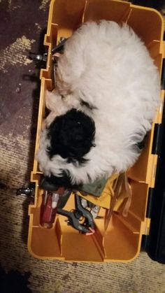 My Cavachon Izzy's favorite place to sleep when getting tired on the job Cavachon, Tired, Sleep, Im Tired