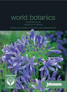 Agapanthus Headbourne Hybrids (J)- Skærmlilje