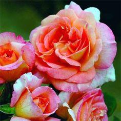 ROSIER GENEROSA® 'FIONA GELIN'® - Rosier buisson très remontant, très parfumé (violette, citron, pamplemousse, abricot, poivre blanc, vanille et muscat). Pour massif ou en isolé.