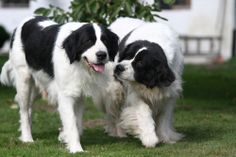 breed. It is called Landseer European Continental Type. This dog ...