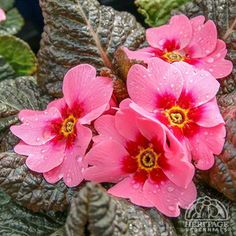 Primula 'Wanda Pink with Eye'  English Primrose