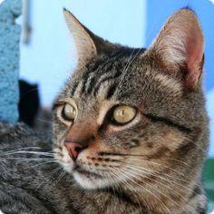 DINO - Gato adoptado - AsoKa el Grande