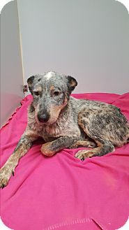 Cowboy - URGENT - Donja's Dogs in Brownsville, TX - ADOPT OR FOSTER - Young Neutered Male Blue Heeler Mix - Good with kids, dogs and cats.  Housetrained and up to date on shots.