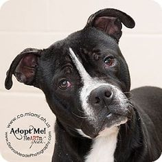 URGENT! I am at a kill shelter in Troy, OH - Pit Bull Terrier Mix. Meet Rocco, a dog for adoption. http://www.adoptapet.com/pet/12421471-troy-ohio-pit-bull-terrier-mix