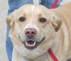 Meet 13 Trapper a Petfinder adoptable Retriever Dog | Canton, OH | Release date 4/18,  Trapper was rescued from the pound but returned today 4/19.  Avaiilble for...
