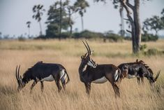 Stately sable antelope - a feature of a Hwange safari Reptiles, Mammals, African Safari, Zimbabwe, Africa Travel, Prehistoric, Animal Drawings, Mother Nature, Wilderness