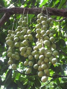 Rambai is a species of fruit tree which grows wild in parts of South East Asia.The fruit has a sweet sour taste and can be eaten raw or cooked