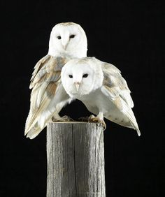 Two Barn Owls On A Wooden Log