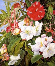 © Marianne North Indian Rhododendrons