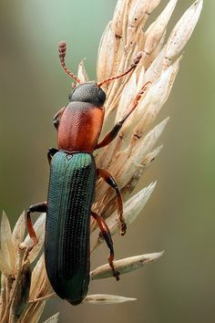 Lizard beetle | Flickr - Photo Sharing!
