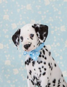 I feel silly with this bow.... Dalmatian Puppy